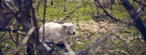 Envionmental impact-sheep outside KMS Litho office