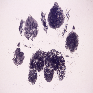 KMS Litho partnered with The Aspinall Foundation in Kent to print limited edition cheetah paw prints